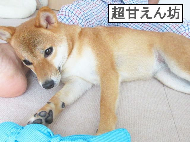 柴犬コマリ 甘えん坊