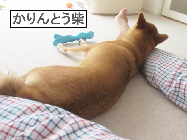 柴犬コマリ かりんとう