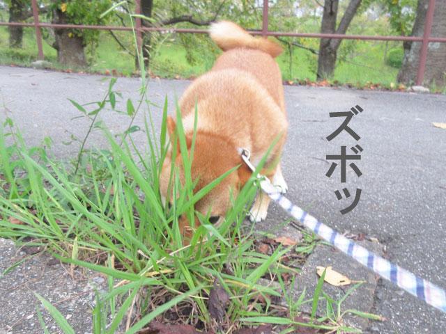 柴犬コマリ 公園散歩