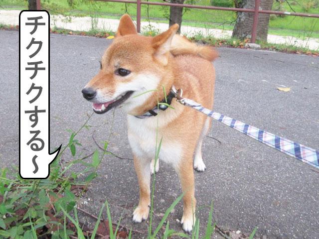 柴犬コマリ 草