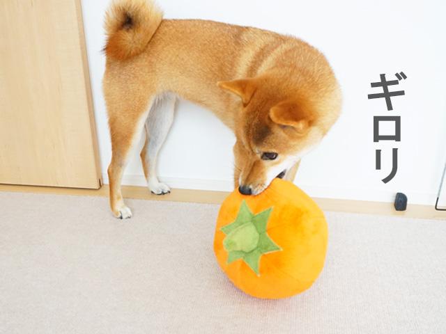柴犬コマリ カボチャ おもちゃ
