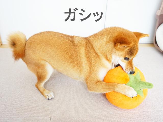 柴犬コマリ カボチャ