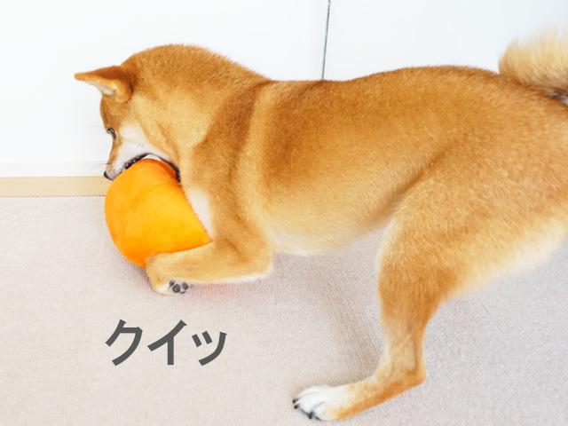 柴犬コマリ カボチャ ドギーボックス