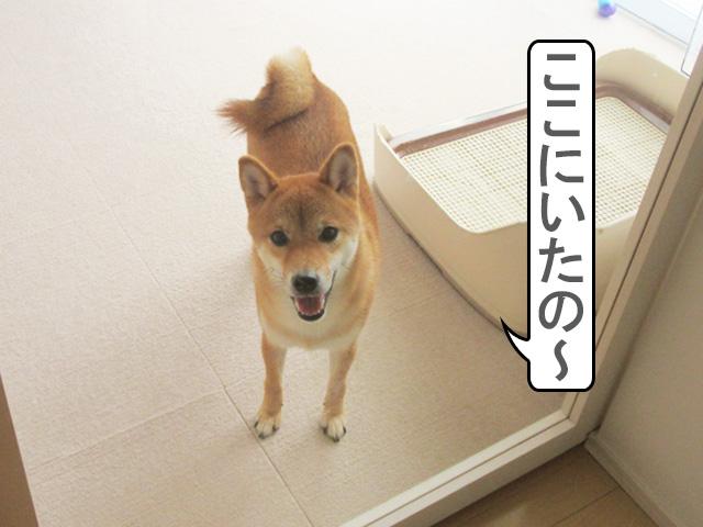 柴犬コマリ 脱走