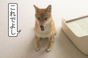 柴犬コマリ オスワリ