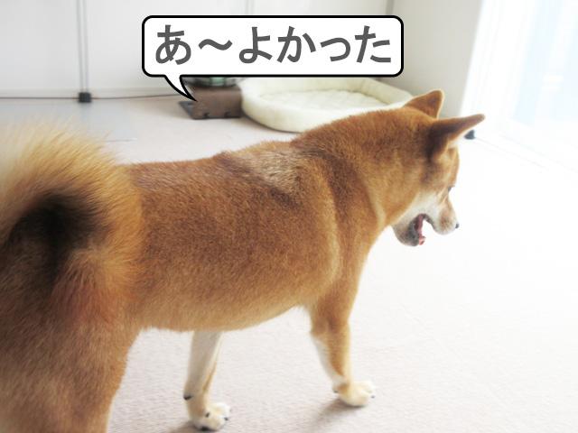 柴犬コマリ 安心