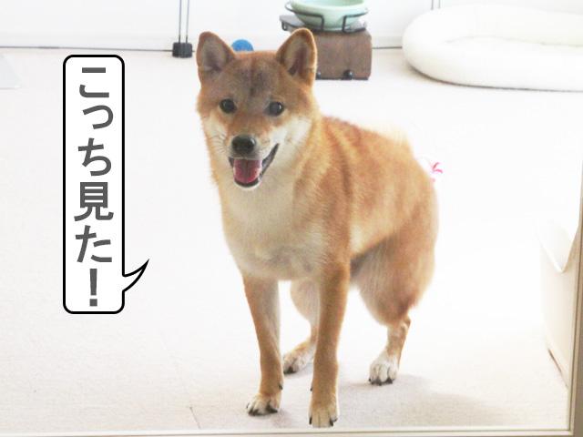 柴犬コマリ ツンデレ