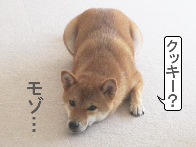 柴犬コマリ ツチノコ