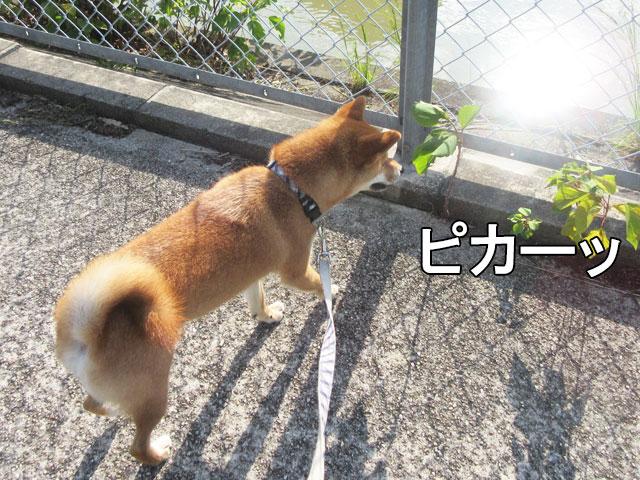 柴犬コマリ 夏散歩