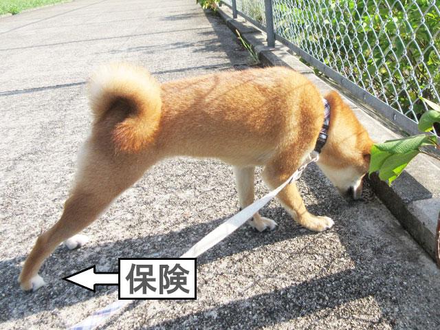 柴犬コマリ 保険