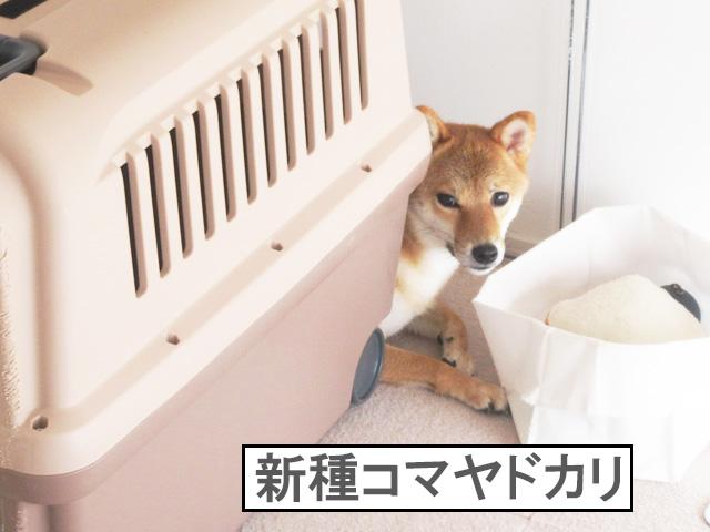 柴犬コマリ ヤドカリ