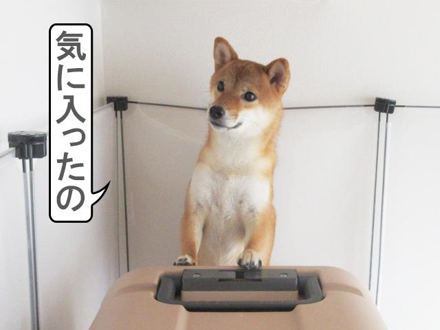 柴犬コマリ クレート