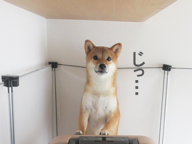 柴犬コマリ 棚