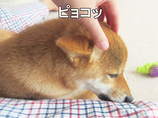 柴犬コマリ 飛行機耳