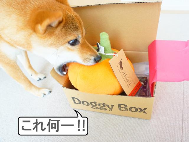 柴犬コマリ ドギボ