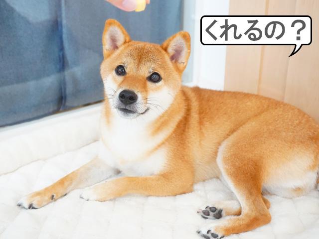 柴犬コマリ キューブかぼちゃ