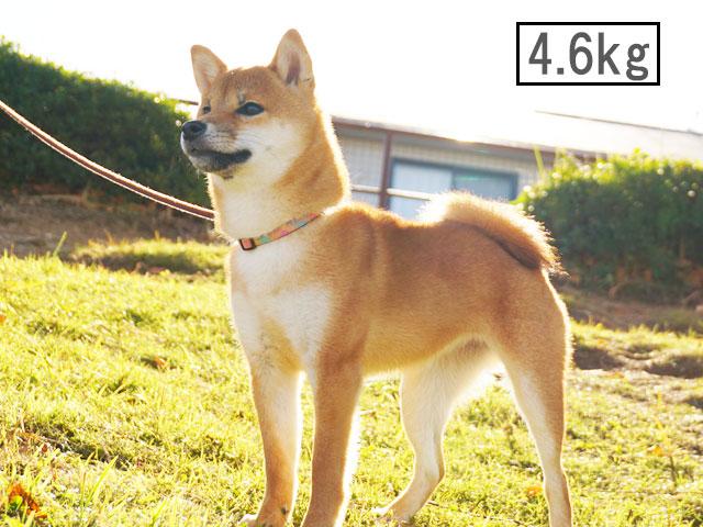 柴犬コマリ 柴犬体重