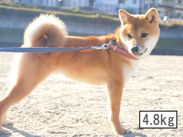 柴犬コマリ 子犬 体重