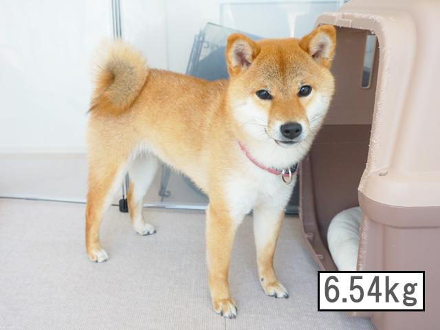 柴犬コマリ 体重 柴犬