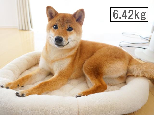 柴犬コマリ 体重 子犬
