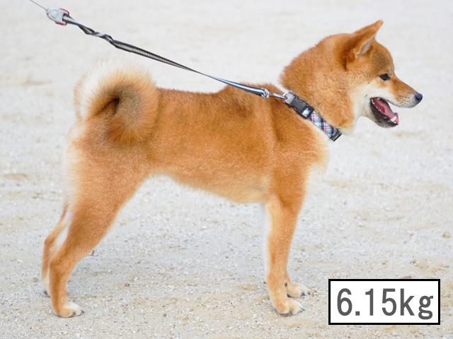 柴犬コマリ 体重