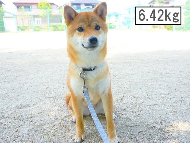 柴犬コマリ 柴犬 体重