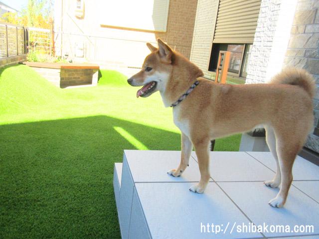柴犬コマリ 犬の庭