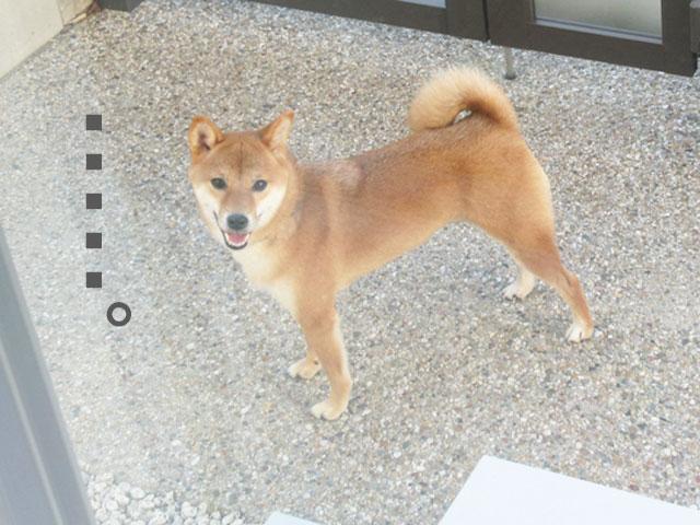 柴犬コマリ 外飼い 犬