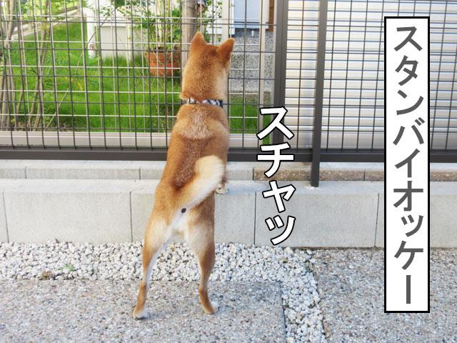 柴犬コマリ スタンバイ