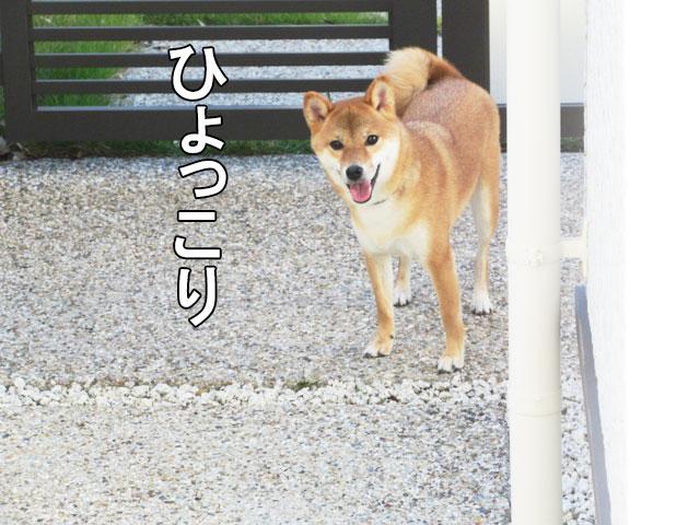 柴犬コマリ ひょっこり