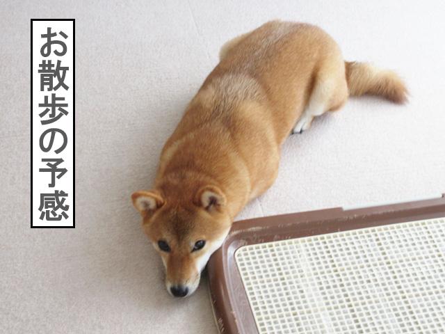 柴犬コマリ 散歩前