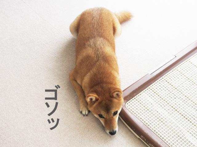柴犬コマリ 散歩嫌い