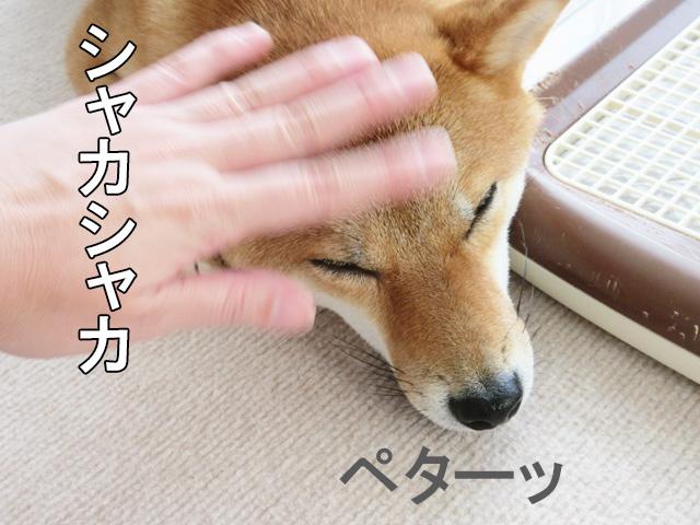 柴犬コマリ ぺたんこ