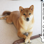柴犬コマリ 社長