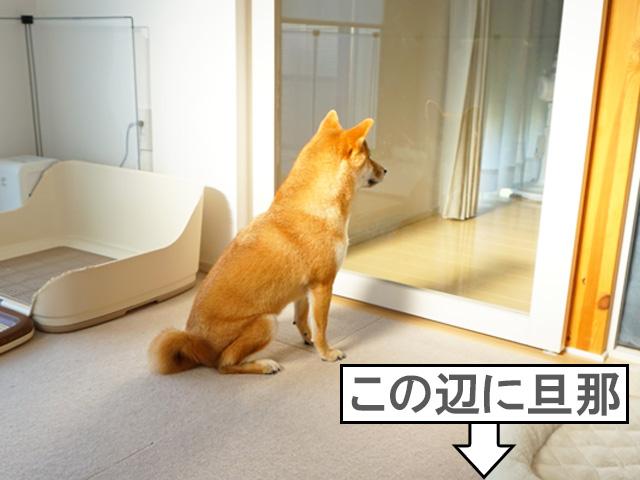 柴犬コマリ SOS