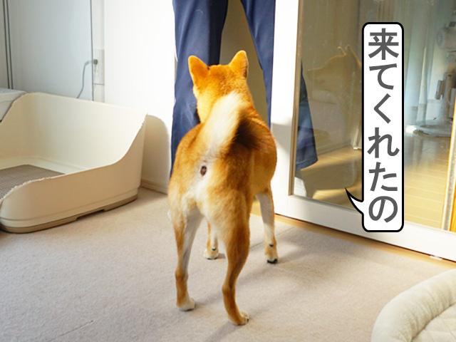 柴犬コマリ お出迎え