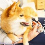 柴犬コマリ 動物病院 ワクチン