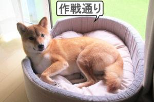柴犬コマリ リビング