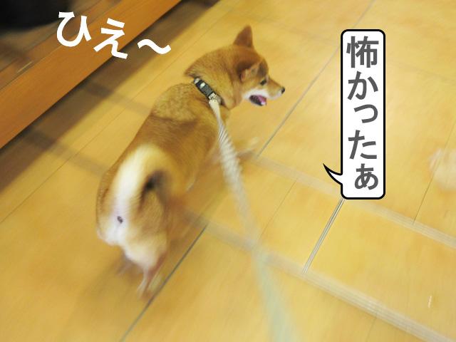 柴犬コマリ ペットショップ