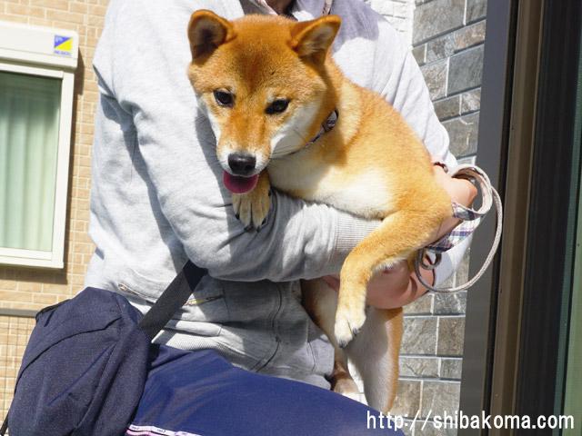柴犬コマリ おやつを使わないトレーニング