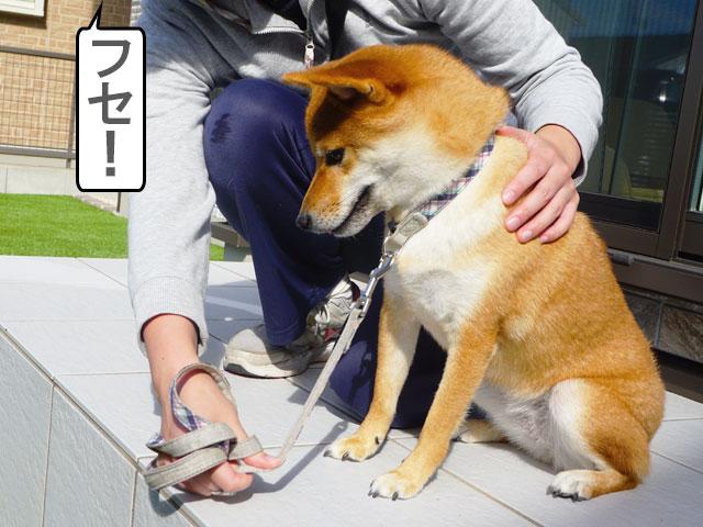 柴犬コマリ おやつなしフセ