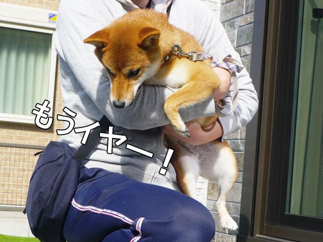 柴犬コマリ 逃げる