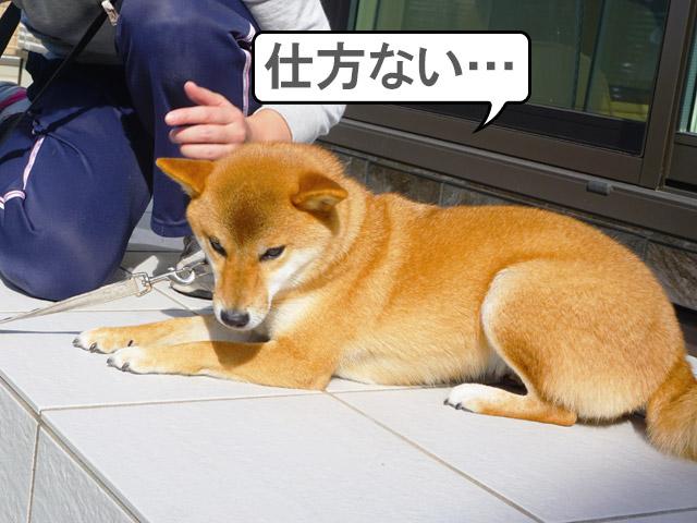 柴犬コマリ 伏せ