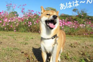 柴犬コマリ コスモス
