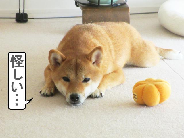 柴犬コマリ 進撃のツチノコ
