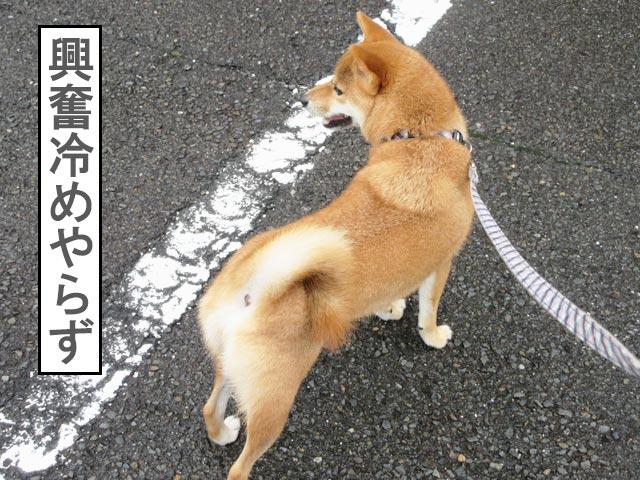 柴犬コマリ 運動会