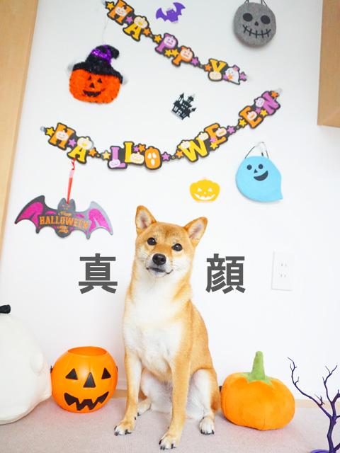 柴犬コマリ ハロウィン