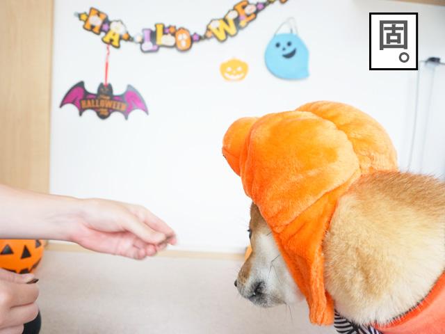 柴犬コマリ Halloween