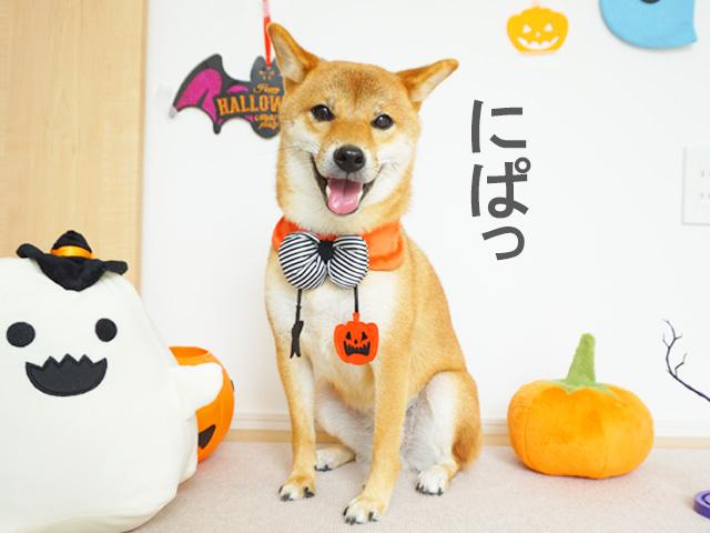 柴犬コマリ ハロウィン写真