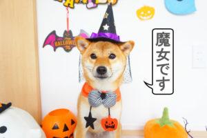 柴犬コマリ ハロウィンコスプレ